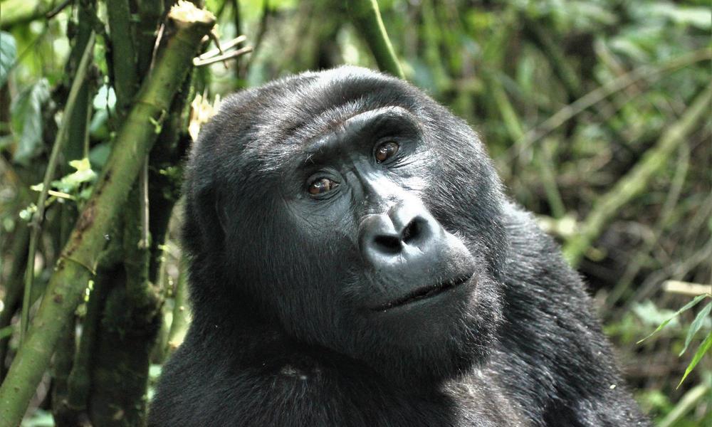 Gorila de montaña (Gorilla beringei beringei) en el Parque Nacional del Bosque Impenetrable de Bwindi, Uganda