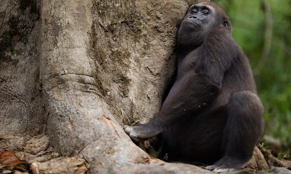 Gorila de las tierras bajas occidentales (Gorilla gorilla gorilla) macho juvenil 'Mobangi' de 5 años de edad, metiéndose en un agujero en un árbol para alimentarse de madera podrida, Bai Hokou, Dzanga Sangha Special Dense Forest Reserve, República Centroafricana.
