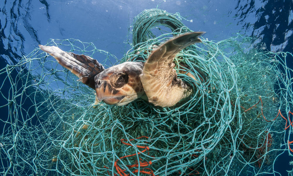 Loggerhead turtle (Caretta caretta) trapped in an abandoned drifting net, Balearic Channel, Mediterranean sea.