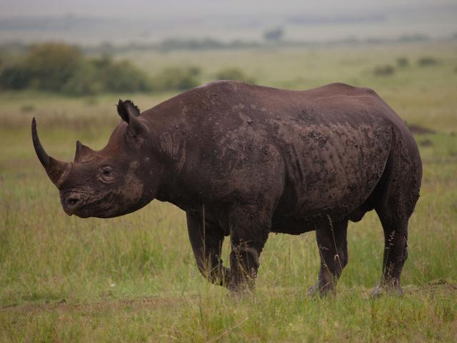 Black Rhino (Diceros Bicornis), Maasai Mara National Reserve, Kenya.