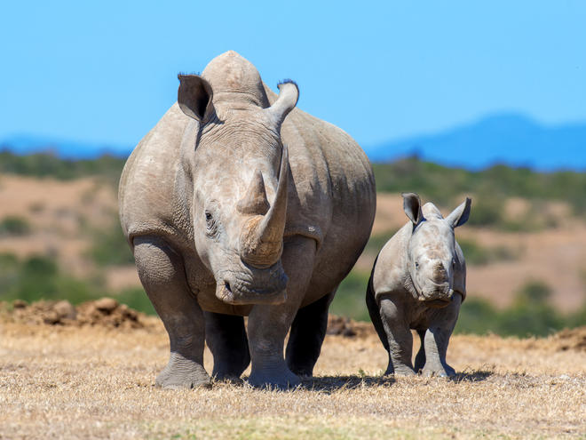 African white rhino (Ceratotherium simum), mother and calf. National park of Kenya.