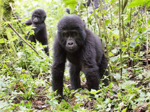 Baby gorilla walking through the forest