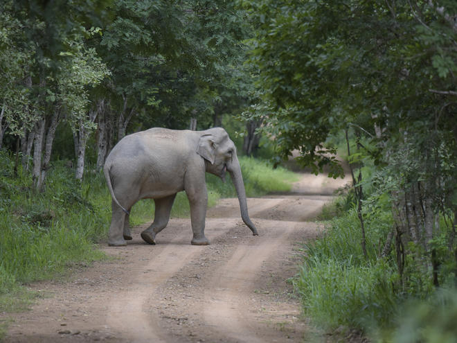 Asian elephant (Elephas maximus) walking through the forest in  Kui Buri National Park in Thailand