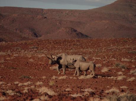 Diceros bicornis Black rhinoceros Desert species adapted to extremely arid habitat Kaokoland, Namibia.