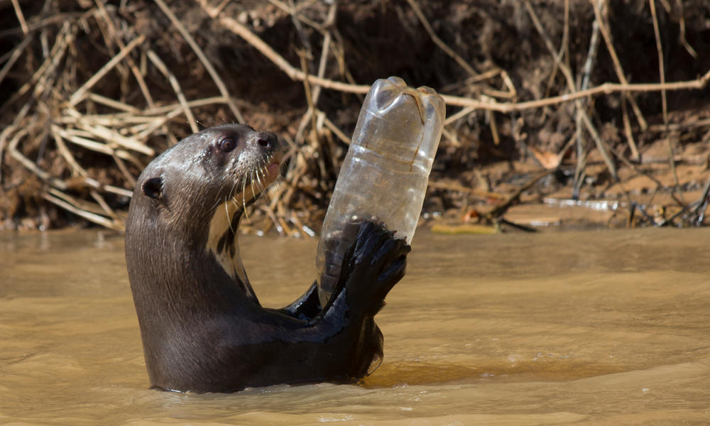 iant otter (Pteronura brasiliensis) adult playing with plastic bottle, Pantanal, Pocone, Brazil