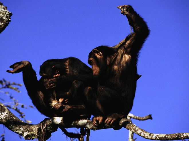 Chimpanzees Why They Matter image (c) Martin Harvey WWF Canon