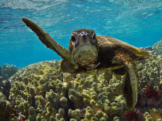 Green sea turtle (Chelonia mydas) swimming, Kona, Hawaii, United States