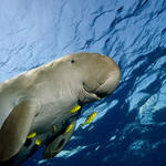 Dugong swimming in the ocean