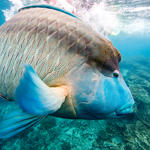 A humphead Maori wrasse (Cheilinus undulatus) on the Great Barrier Reef, Cairns, Australia