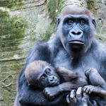 Cross river gorilla holding a baby