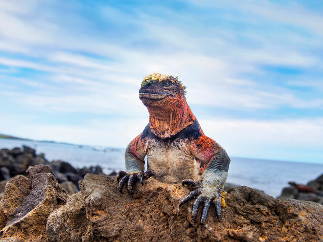 A marine iguana sits on a rock in Ecuador