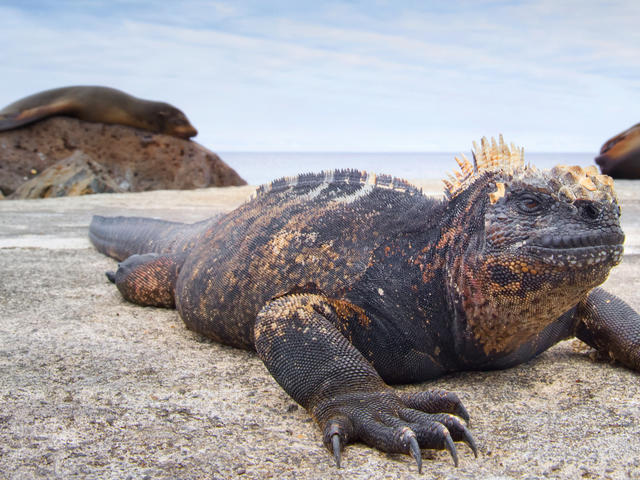 Marine iguana on a rock in Ecuador