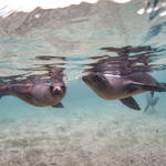 Galapagos sea lions swimming in Baronesa Bay
