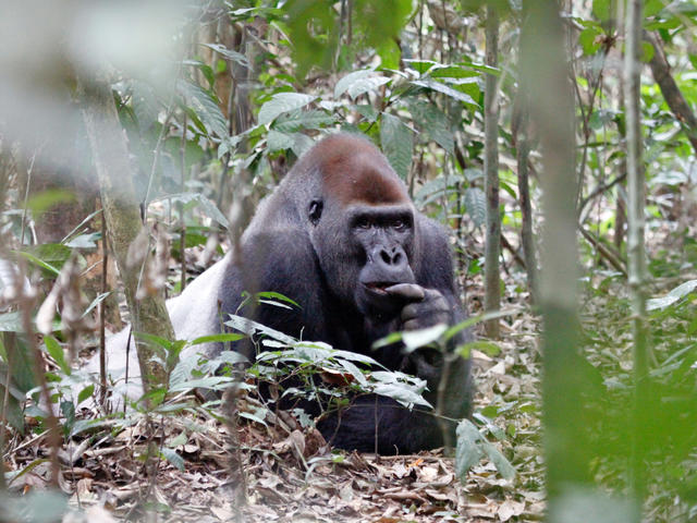 Western lowland gorilla resting on forest floor in Dzanga Sangha Protected Area, CAR