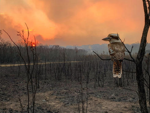 Kookaburra after bushfires passed Australia