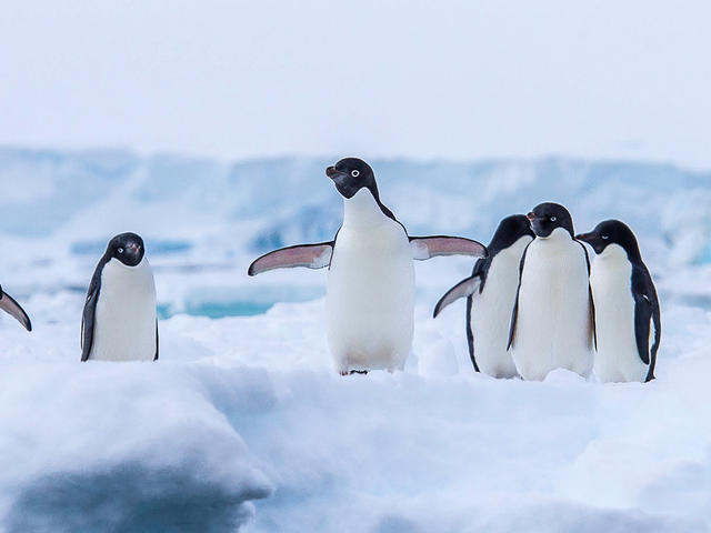 Adelie Penguins on an ice sheet in Antarctica