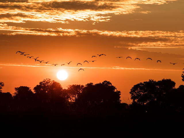 Birds fly at sunrise in the Okavango Delta, Botswana.