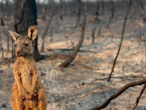 Kangaroo Joey in burnt out bushland