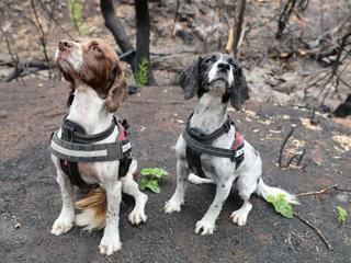 Portrait of Taz and Missy, English Springer Spaniel detection dogs.