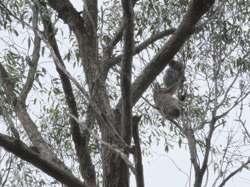 First koalas, mother and joey, found by detection dogs in Maryvale