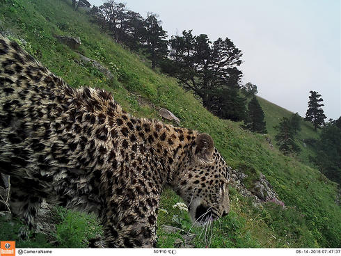 Photo of a Persian Leopard on Mount Akhun taken by a camera trap