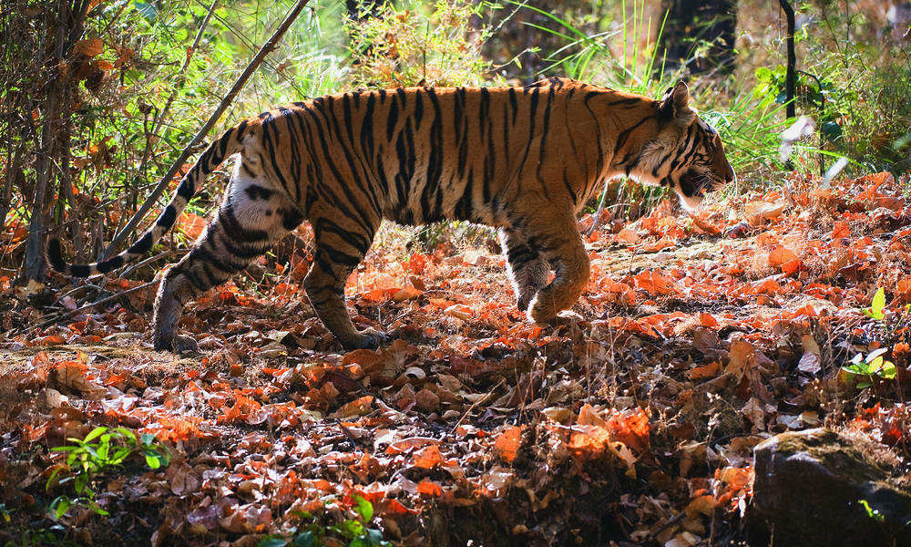 Pictured Astonishing photos of rare Bengal Tiger at