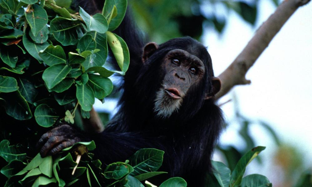Chimpanzees | Species | WWF