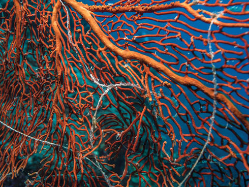 Fishing line in sea fan