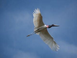 Flying jabiru