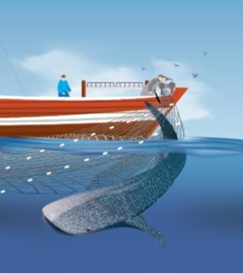 Illustration of whale released from gill net