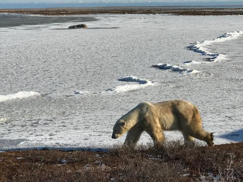 King of the Arctic Legacy Circle Trip - Bear walking in the snow
