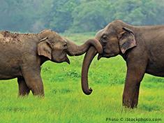 Two elephants interacting