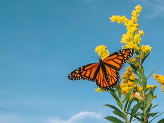 Monarch portrait against a blue sky