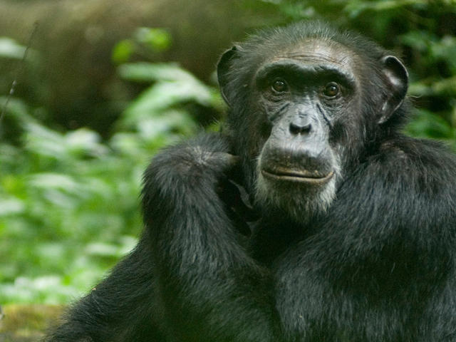 Chimpanzee sitting on forest floor in Uganda