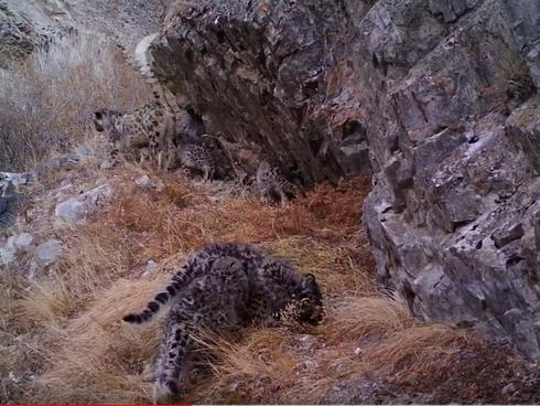 A video screenshot of a snow leopard and her four cubs