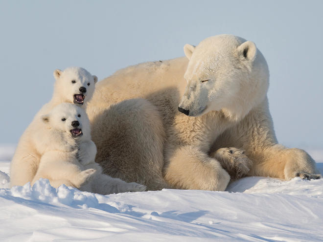 Polar bear (Ursus maritimus) with cubs in the Wapusk National Park, Churchill, Manitoba, Canada