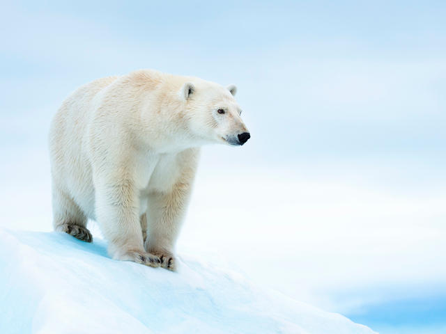 Polar bear (Ursus maritimus) on ice floe. Svalbard, Norway.