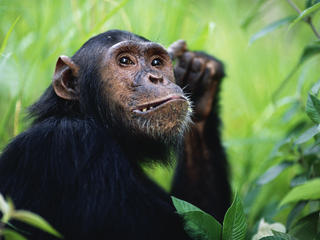 Chimpanzees Hero image (c) naturepl