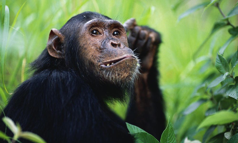 12-year-old male Chimpanzee