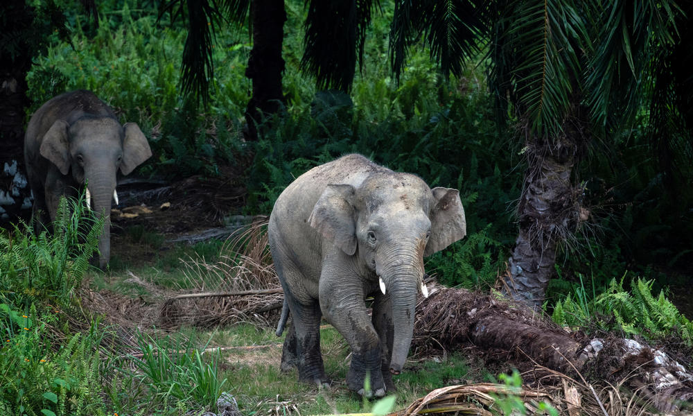 Bornean elephants emerge from an oil palm plantation at Sabah Softwoods in Sabah, Borneo on 28 March, 2019.