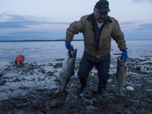Carl Johnson pulls salmon caught in his family's beach set net. Subsistence fishing plays an important role in local diets. Bristol Bay, Alaska, United States.