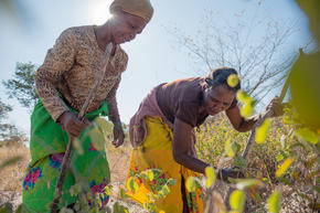 Farming for devil's claw in Namibia