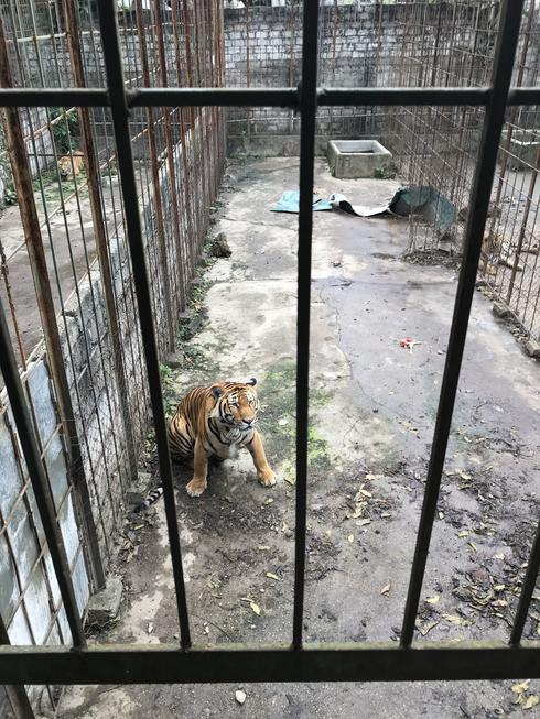 Tiger in a cage at a tiger farm