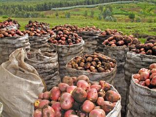 Harvested potatoes in Virunga Volcanoes National Park, Rwanda