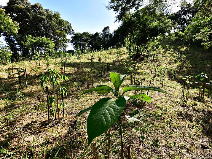 Seedlings planted in Mogi Guacu, Brazil