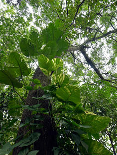 Looking upward at a tree in the Atlantic Forest