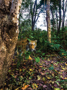 Tiger emerging from some trees