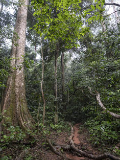 Rainforest, Dzanga Sangha, Central African Republic