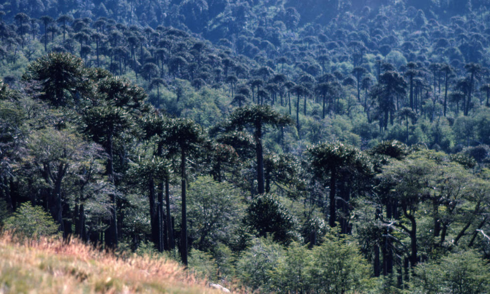 Monkey puzzle tree forest (Araucaria araucana) in the Andes. 9th Region (Araucanía Region), Chile