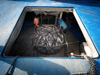 Fishers prepare a net full of tuna for processing